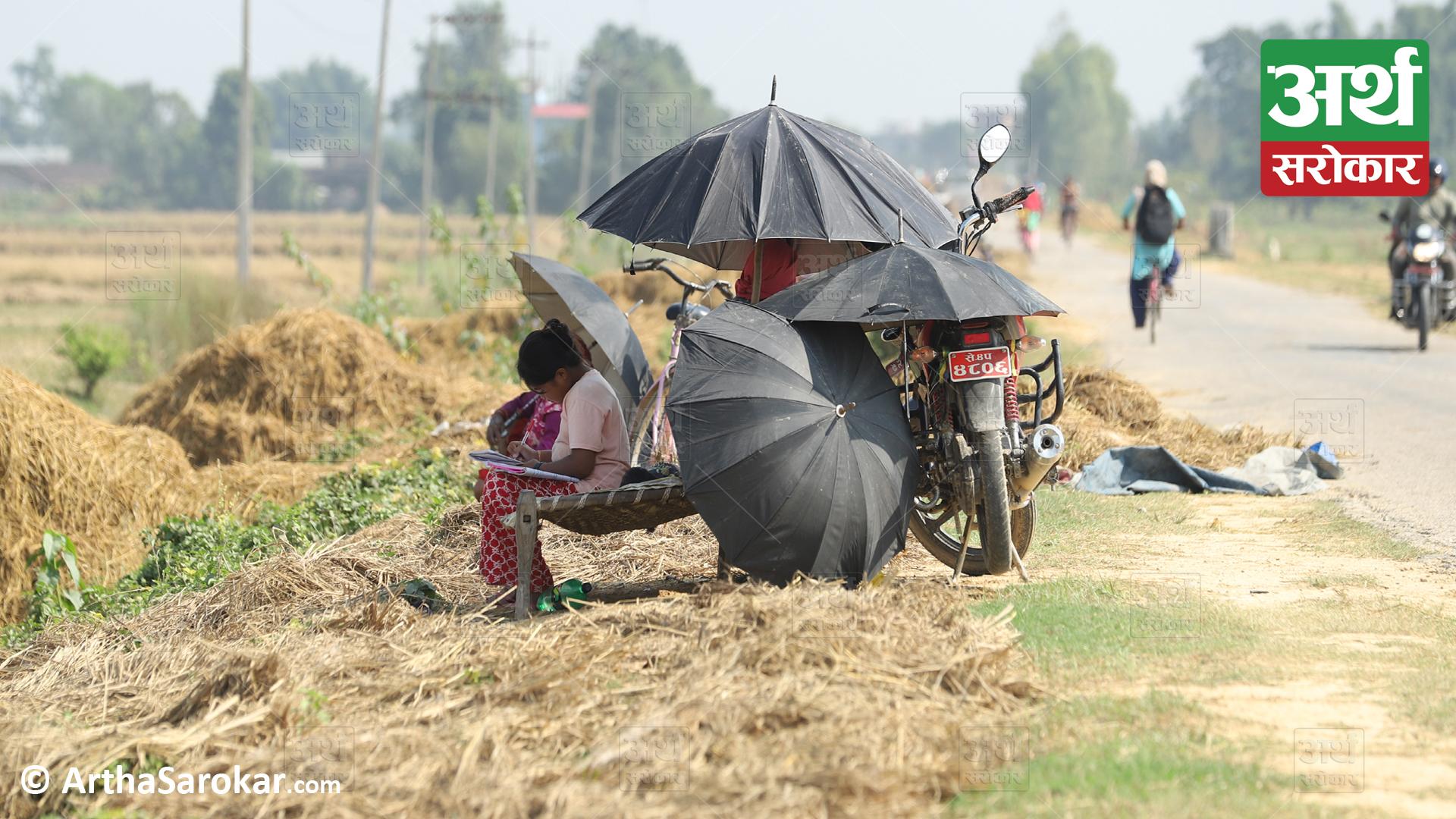डुबानपछि सुदूरका किसानः कोहि ढलेको धान सिमोट्दैछन्, कोहि बाटोमै 'सपना' सुकाउँदैछन्… (फोटो-कथा)