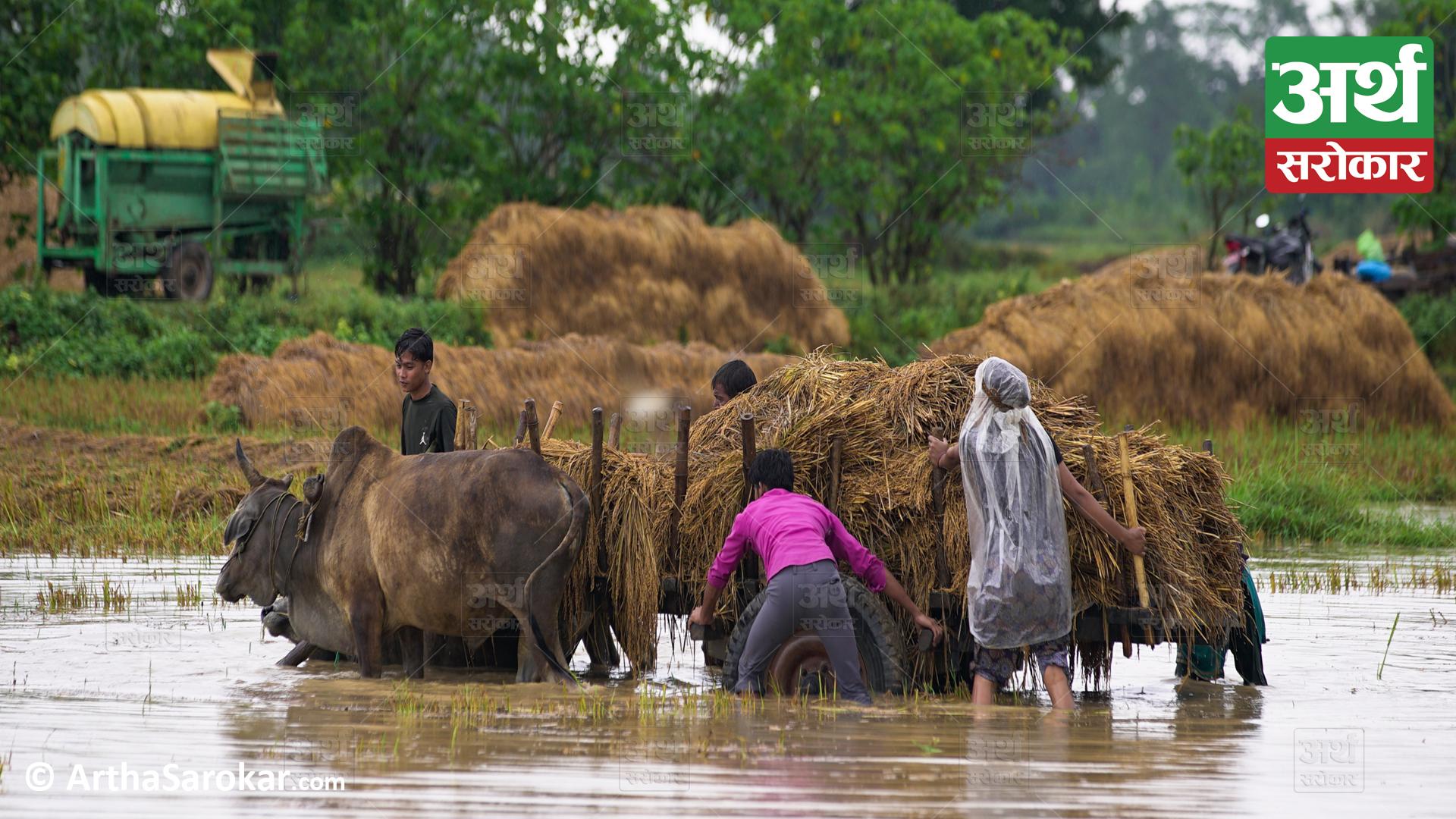 सुदूरमा हिउँदे झरीको वितण्डाः किसान रुँदै भिजेको अन्न बोक्दैछन्…(फोटो-कथा)